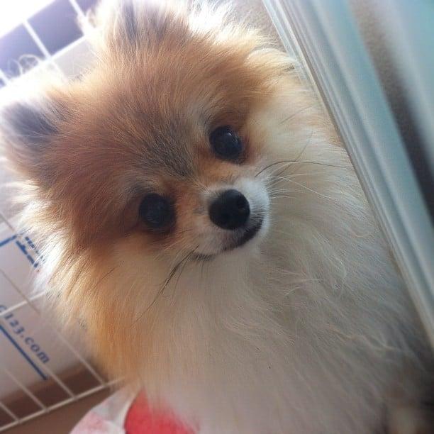 Pom or Fox?