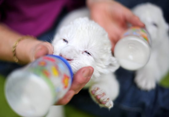 Pictures of Baby Lions Getting Bottle Fed