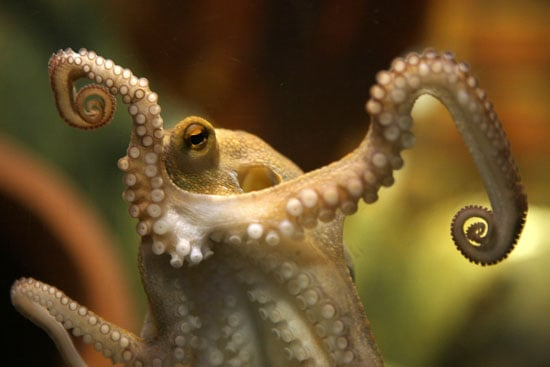 This celebrity octopus calls the Sea Life Aquarium in Oberhausen, Germany, home. Paul II is the successor of the octopus who predicted the outcome of the World Cup football games in 2010.