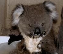 Cute Alert: Baby Koala Skinny Dips in a Tiny Tub of Water
