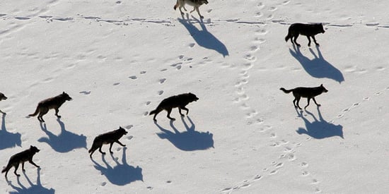 Washington State To Kill Entire Wolf Pack After Livestock Killings