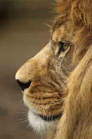 A male lion's mane growth is associated with sexual maturity and testosterone production, among other things. Thus, females tend to go for the guys with fuller, darker manes!