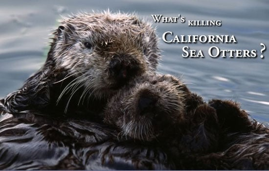 The Scoop: Deadly Cat Poop for Sea Otters