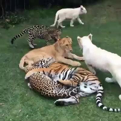 Big kitties love to play, too.