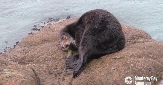 Rare Video Captures Wild Sea Otter Giving Birth