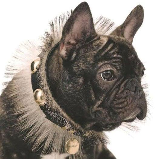 Marcel Nars, French Bulldog Beauty Model, Dies