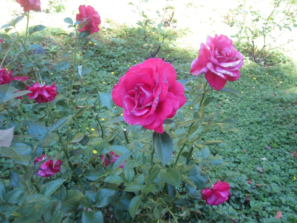 One of Isabelle's lasting legacies is a gorgeous rose garden. She planted a different kind of rose each time there was a new president. All of the roses still bloom each season.