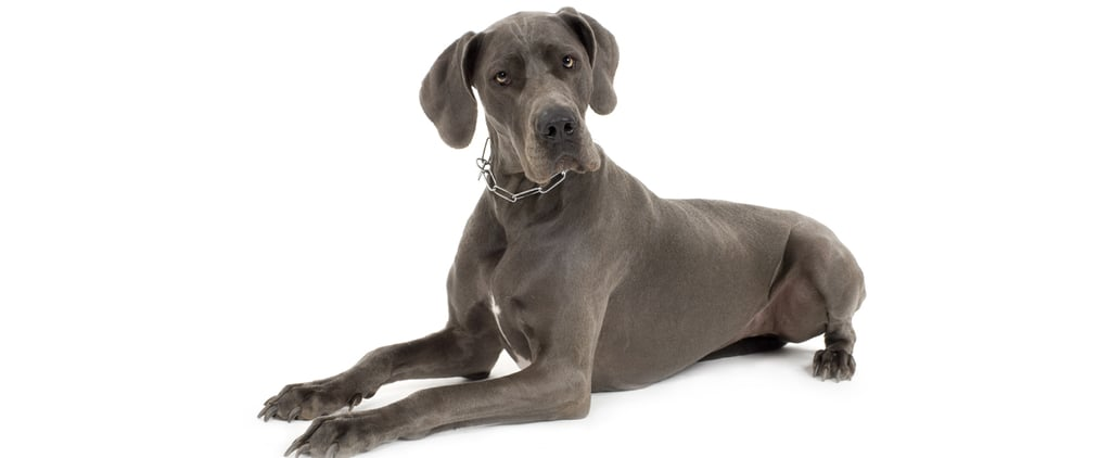 What Do You Know About Great Danes?