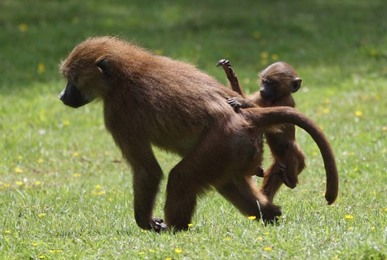 Baboon mommy and baby playing around.