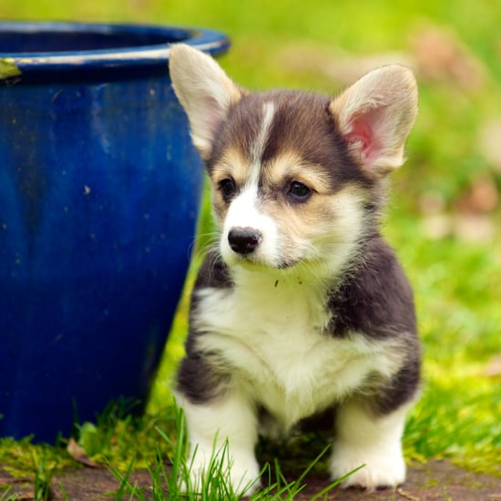 What Is the Difference Between a Pembroke Welsh Corgi and a Cardigan Welsh Corgi