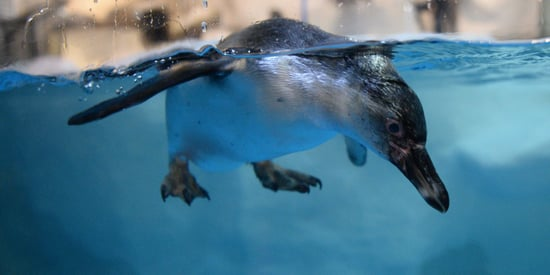 This 4-Month-Old Baby Penguin Got Blessed By A Catholic Priest For His First Swim
