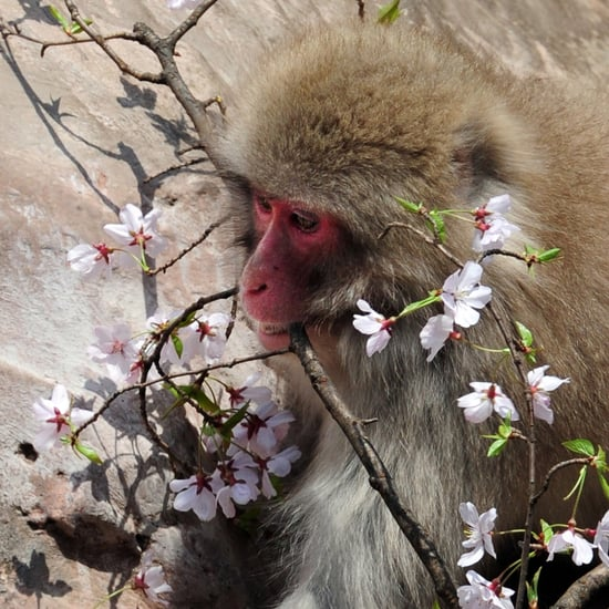 Japanese Macaques Enjoy Cherry Blossoms at Ueno Zoo