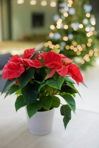 Poinsettia and Beyond