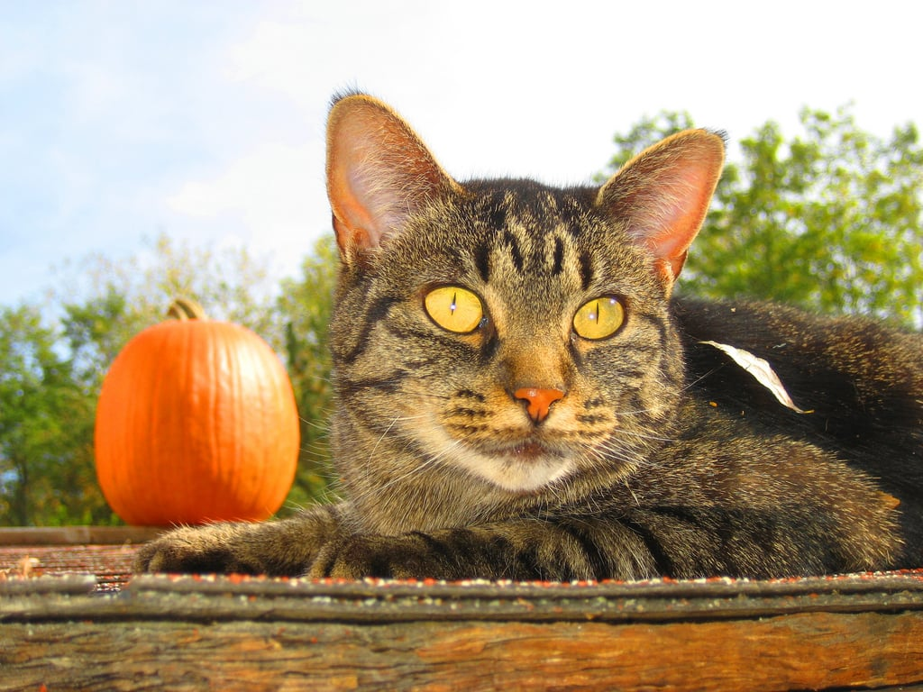 Pumpkins are willing participants in monster cat camera tricks! Source: Flickr user Leogirly4life