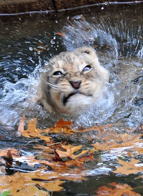Are Lions Good Swimmers?