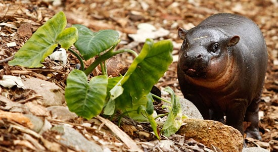 Pictures of Pygmy Hippo Kambiri at Taronga Zoo