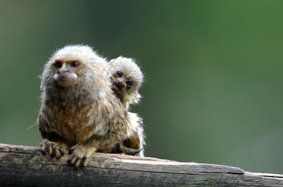 Pygmy marmosets are the smallest type of monkey: excluding their tails, they only grow to be five to six inches long.