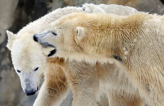 Peep Pics of Knut and Giovanna's Snowy Romp!