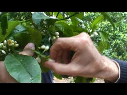 What Neroli Is and How It's Made