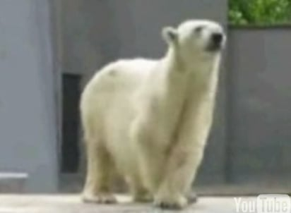 Polar Bear Got The Moves