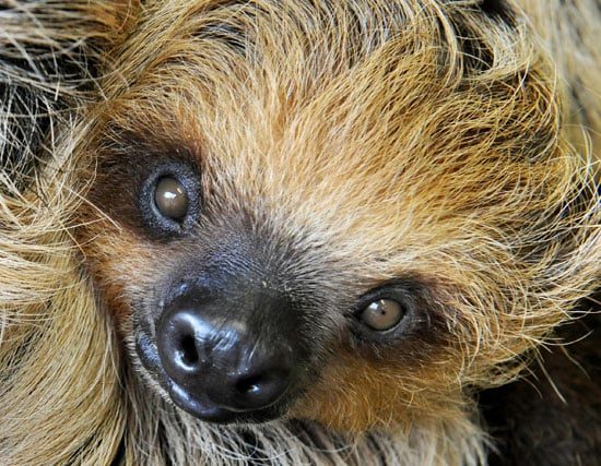Most sloths are the size of a small dog.