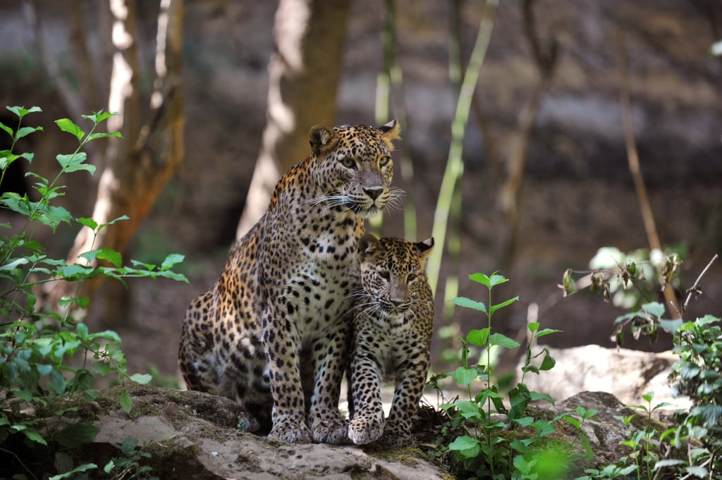 This 5-month-old Sri Lankan leopard is learning from his mother to earn his — er — spots!