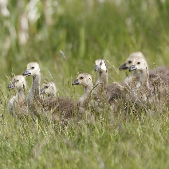 Cute Geese Photos For Goose Day