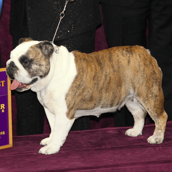2016 Westminster Kennel Club Dog Show Group Winners