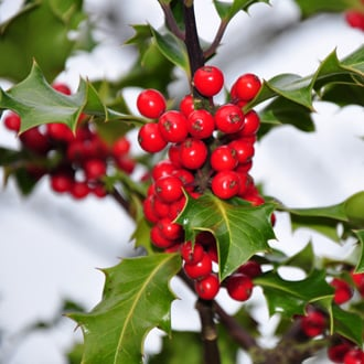 Which Winter Plants Are Toxic to Dogs?
