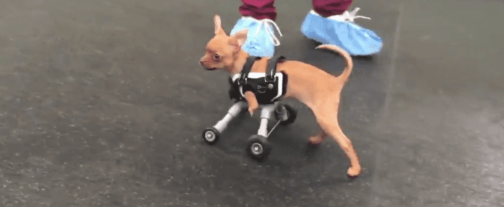 This 2-Legged Dog Getting a Set of Wheels Will Make You Cry Happy Tears