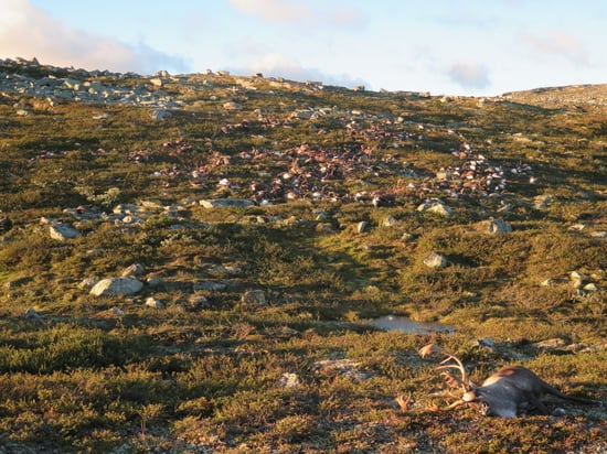 Lightning Storm Kills 323 Reindeer in Norway