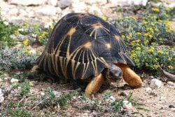The Radiated Tortoise
