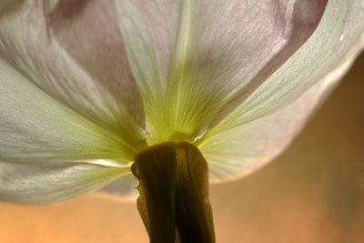 What's the Deal With Evening Primrose Oil?