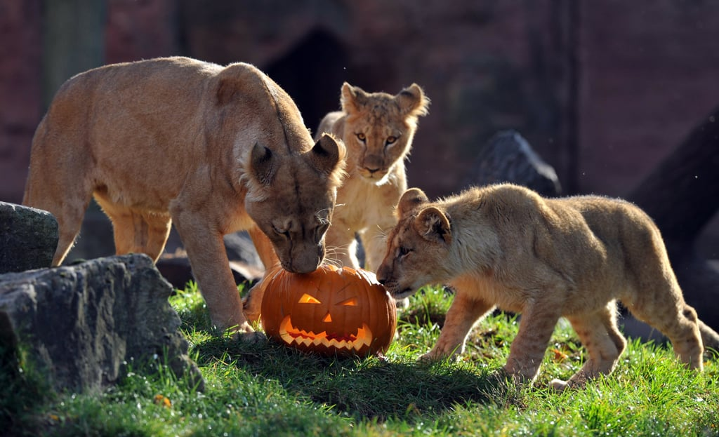 Even big kitties love pumpkin treats (especially when they are stuffed with meat!).