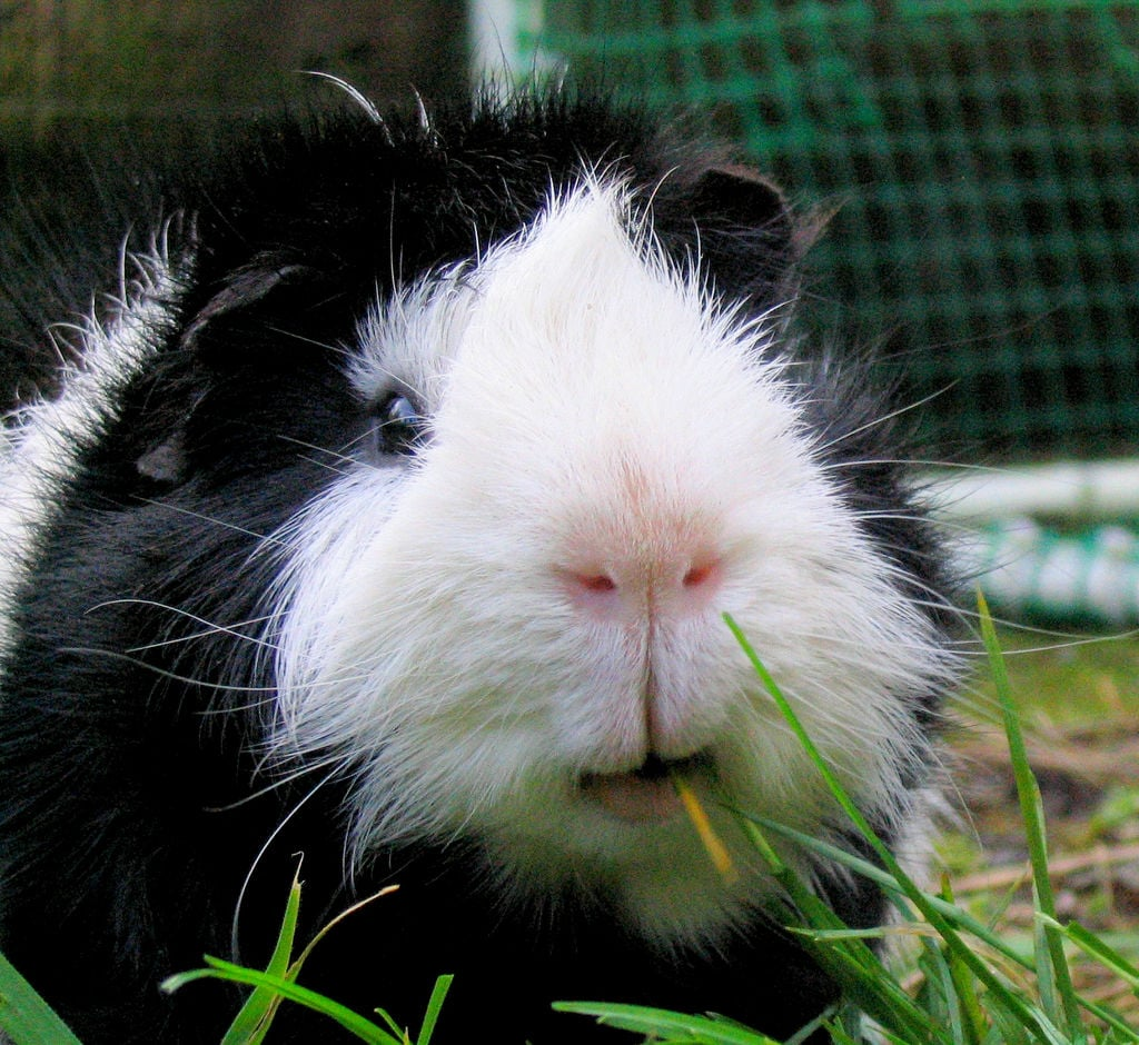 This guinea pig is all smiles. Source: Flickr user Jan Tik