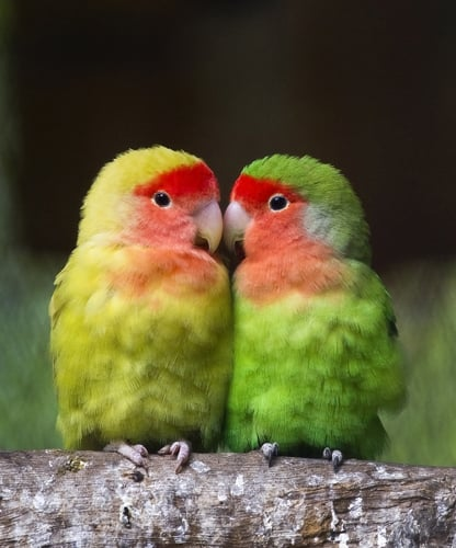 Rosy-faced lovebirds get their name from their monogamous pair bonding and in spite of the fact that they are actually small parrots.