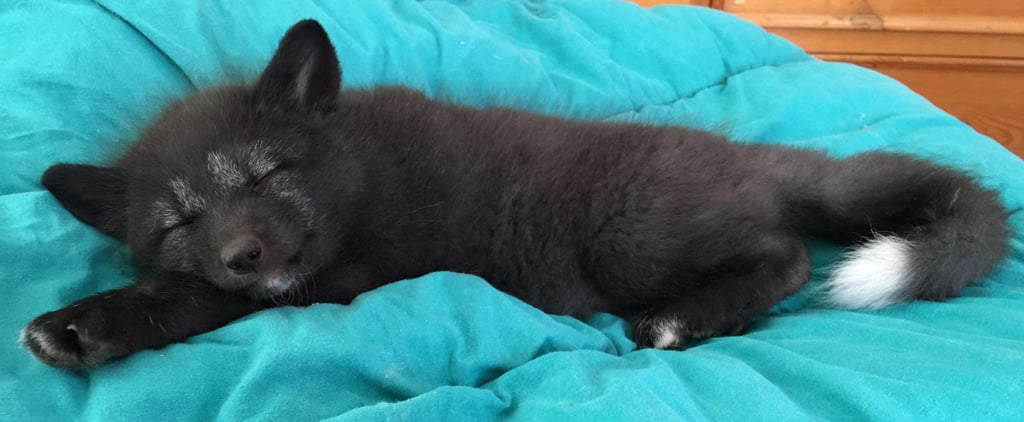 This Rescued Baby Fox Will Make Your Heart Melt