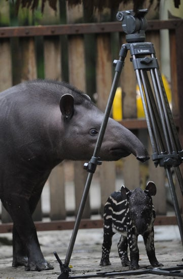 Tapirs are vegetarians, dining mostly on plants and fruit.