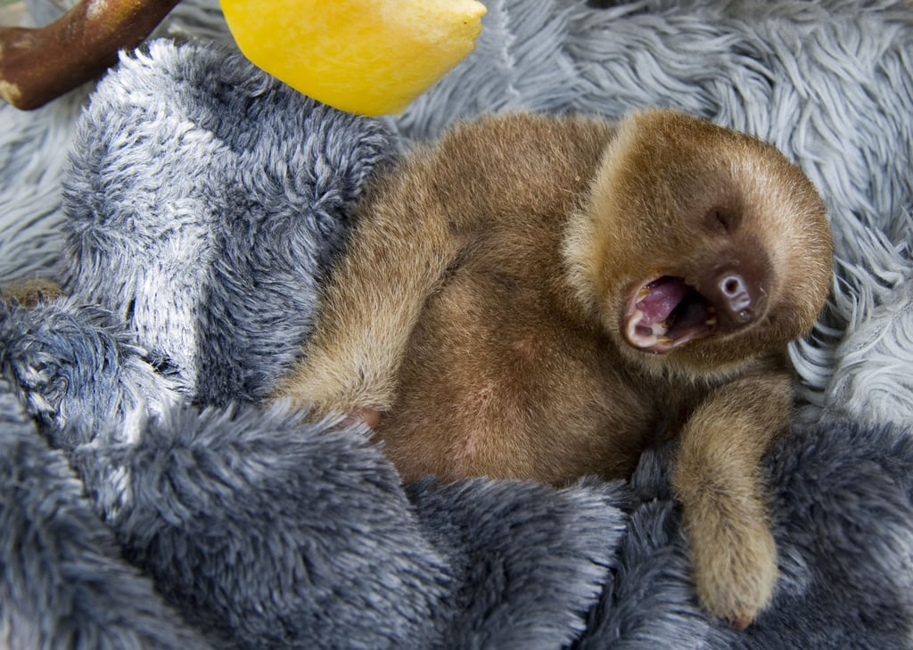 Yawn! This baby two-toed sloth at Aiunau Foundation in Caldas, Colombia settles into his comfy, furry bed.