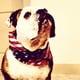 This Bulldog rocks his bandana with a very stoic stance.  Source: Instagram user josmahau