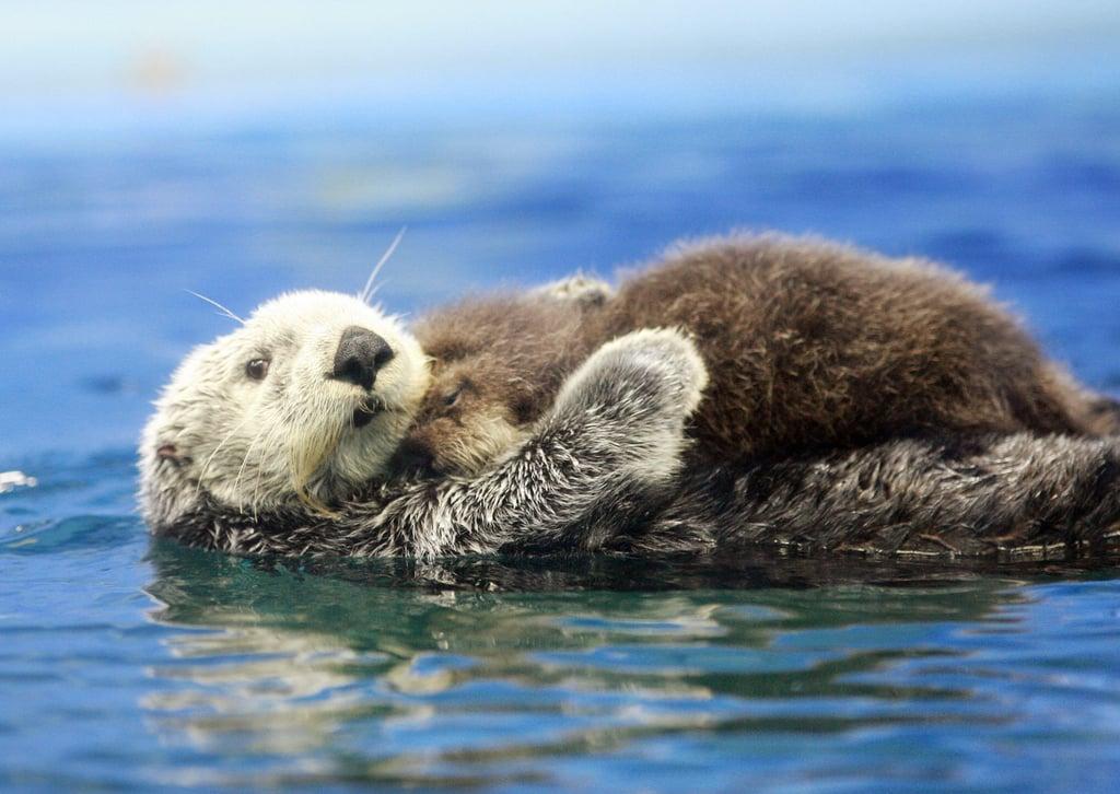 Mama Otter Holding Baby Otter