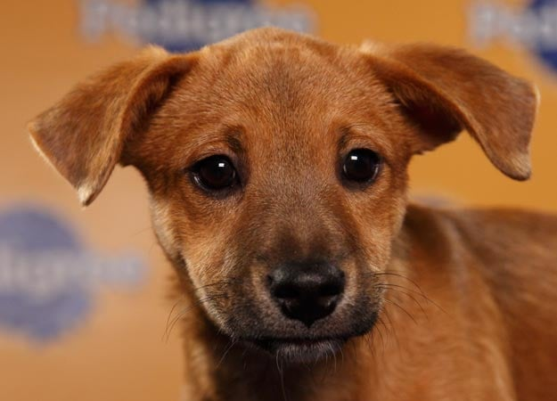Chihuahua/dachshund mix Gracie could win the MVP prize with style and grace. Source: Animal Planet