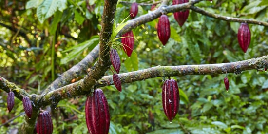 This Is Where Chocolate Comes From