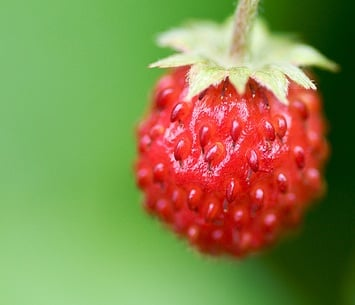 What Are Fraises du Bois?