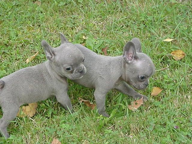 Rare Blue French Bulldogs