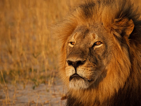 One Year Later, Cecil the Lion's Legacy Lives on Through His Cubs