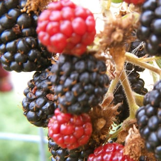 Hybrid Fruit Quiz