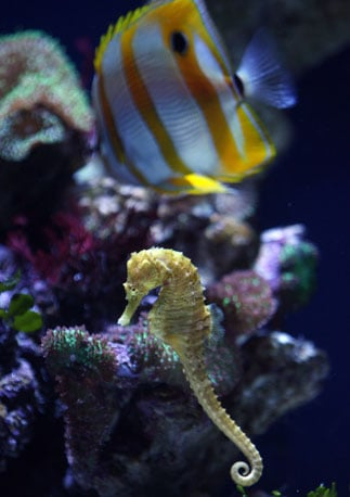 A tiny seahorse stays close to the reef at the Aquarium of the Pacific in Long Beach, CA.