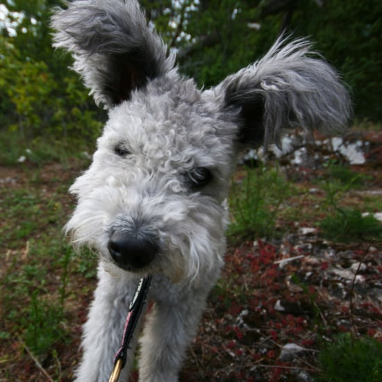 American Kennel Club Recognizes Pumi