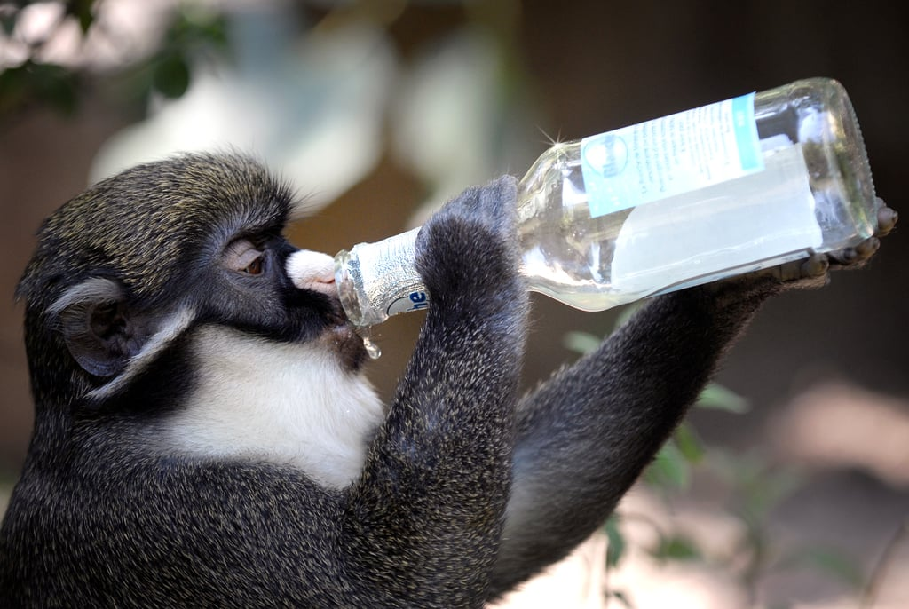 Chug, chug, chug. This monkey knows just what to do with a bottle of cool water.